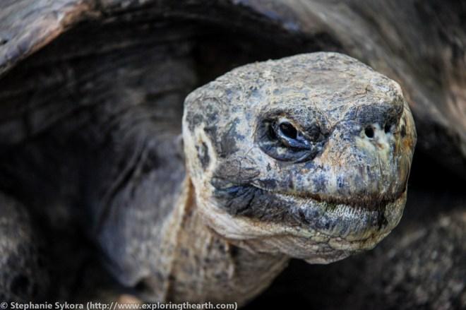 Galapagos, Islands, Galapagos Islands, Ecuador, South America, Darwin, Evolution, Travel, Adventure, Galapagos Tortoise, Tortoise, Giant Tortoise, Santa Cruz, Tourism, Isabela