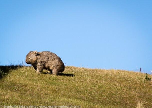 Maria Island, Maria, Tasmania, Australia, geology, travel, blog, adventure, hiking, exploring, earth, science, rocks, nature, geomorphology, Tassie, wildlife, wild, animal, wombat