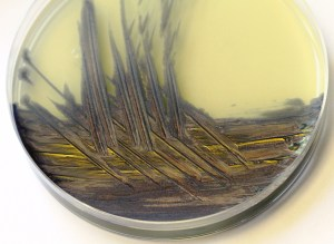Arthrobacter polychromogenes on agar, which naturally produces a blue pigment
