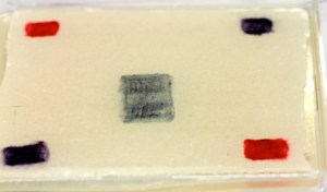 Just after inoculation, the living red, purple and blue bacteria clearly visible at their corresponding sites of inoculation