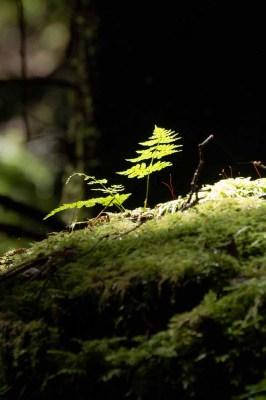 Juan de Fuca Trail Canada Day 2014 Fern in the Trees