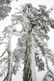 Snow encrusted old growth trees on Vancouver Island