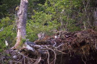 a pair of Evening Grosbeak
