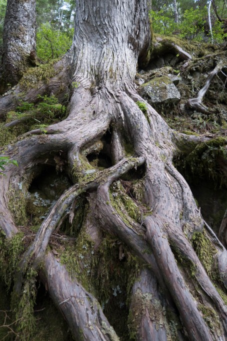 a tangle of roots