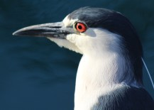 This cute Black-crowned Night Heron is at Wilderness Lakes Thousand Trails in Menifee, CA.