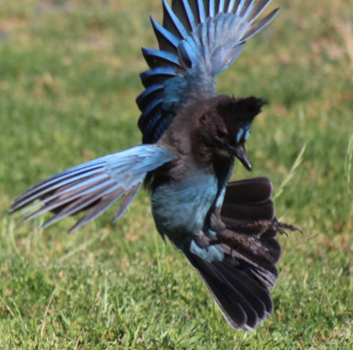 Stellar's Jay fighting for food