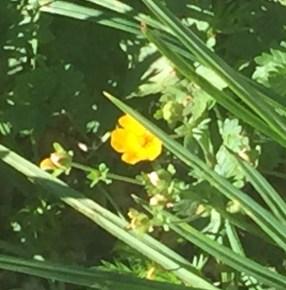 Subalpine Buttercup