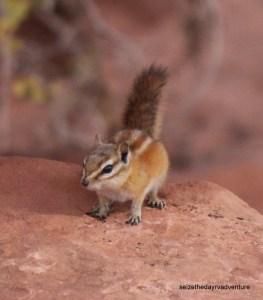Hopi Chipmunk