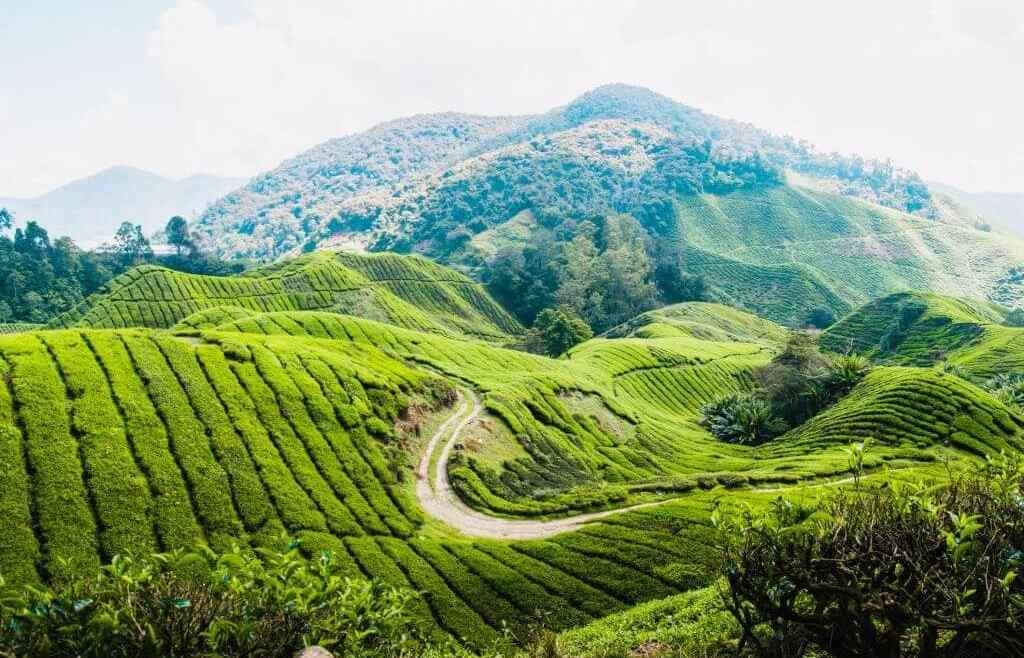 What to do in the Cameron Highlands: tips for highlights, food & hotels