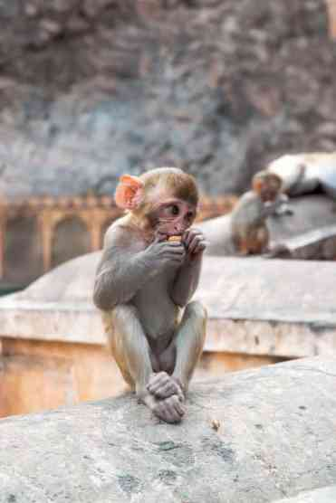 Monkeytemple40 - Jaipur bezienswaardigheden: mijn beste tips voor een bezoekje aan Jaipur