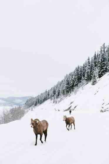 Sheep-David Guenther-CR (2)
