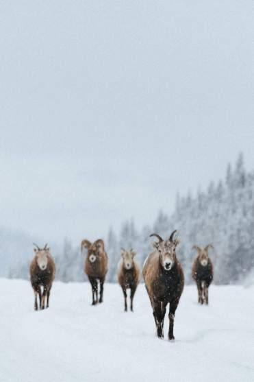 SheepWalking David Guenther CR 1 - Wintersport in Canada: doe een ski & city combi met Edmonton & Jasper!