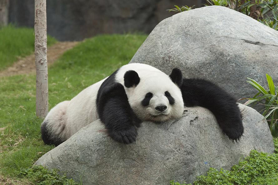 I Panda sono tesoro nazionale cinese