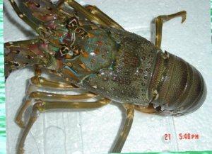 Jenis Lobster Laut  Lobster air laut  Exportir lobster