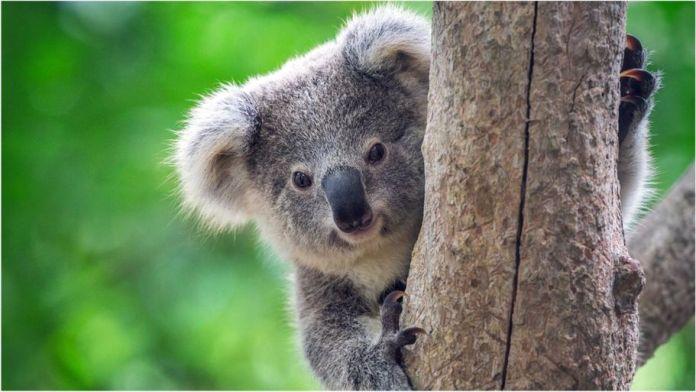 Cutest Animals In The World,Koala