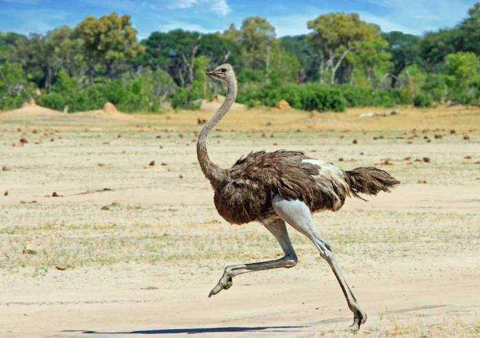 Ostrich is a species of a large flightless bird which is native to certain large regions of Africa. It is one of two living species of ostriches, the only living cousins of the genus Struthio in the ratite order of birds. The other living species is the Somali ostrich. The natural ostrich's diet consists largely of plant matter, though it further eats invertebrates. It stays in nomadic groups of about 5 to 50 birds. When threatened, the ostrich bird will either hide itself by lying low against the ground or even run away. If cornered, it can strike with a kick of its powerful legs. Mating patterns vary by geographical region, but the territorial males usually fight for a harem of two to seven females.