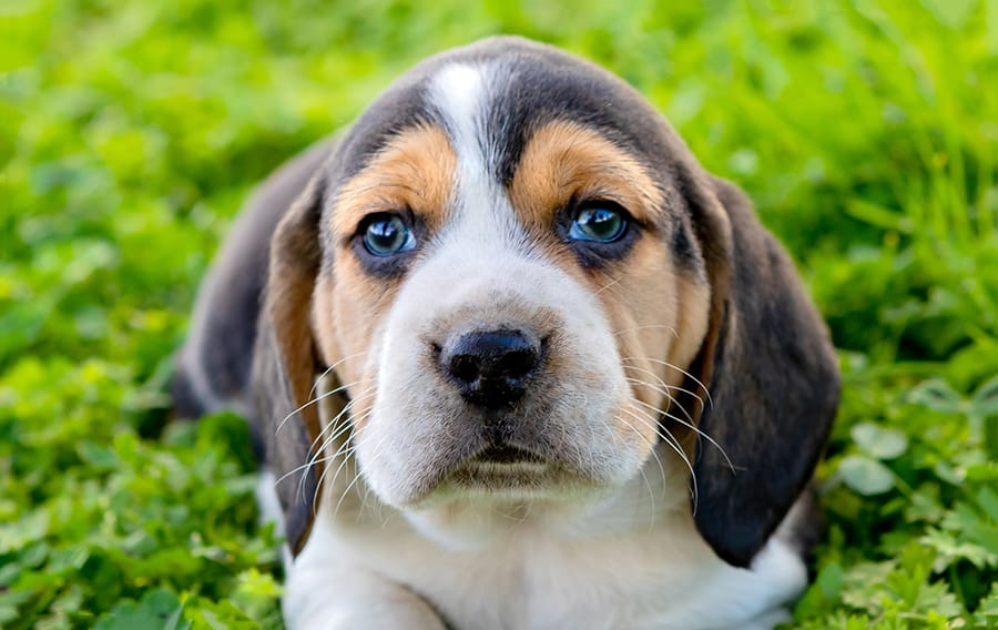 indian dog names for male beagle