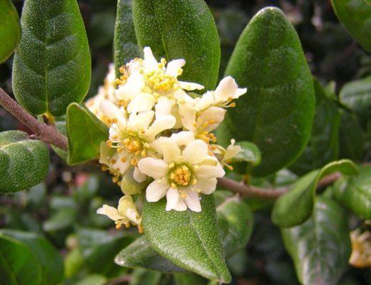 L'élixir floral de Boldo - élixirs andins