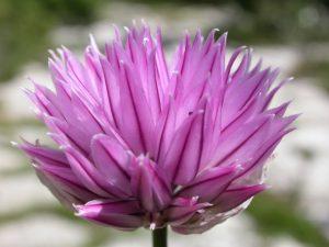 Elixir floral d'Ail Sauvage Bio