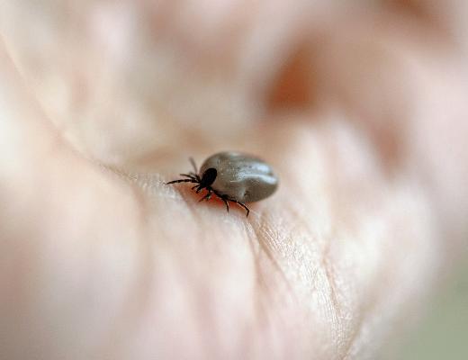La tique, insecte qui véhicule la maladie de Lyme encore mal connue et mal soignée. C'est pourquoi un accompagnement émotionnel peut aider les patients qui en sont atteints.