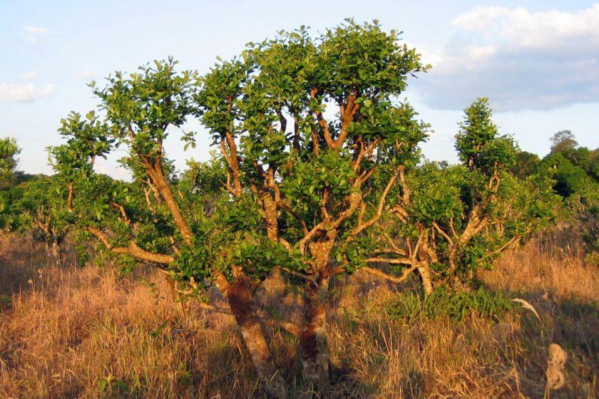Yerba Mate, arbre