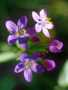 La fleur de Centaurée