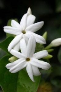 La fleur de Jasmin