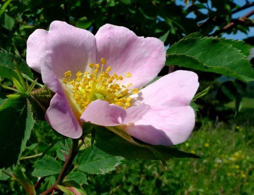 L'Églantier (Wild Rose) est la fleur de la joie de vivre - Fleur de Bach