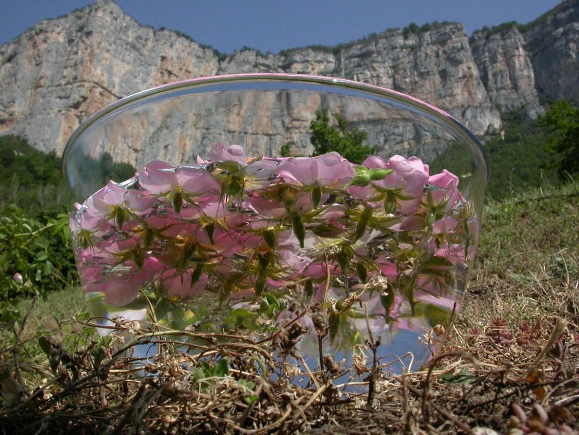 Préparation de l'élixir-mère d'Églantier, fleur de Bach Wild Rose