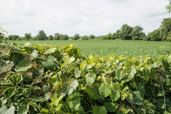 Field damage from Japanese beetles may concentrate around attractive weeds or fence line plants.