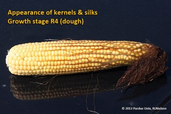 Appearance of kernels and silks. Growth stage R4 (dough).