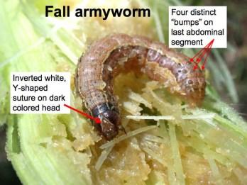Fall armyworm.