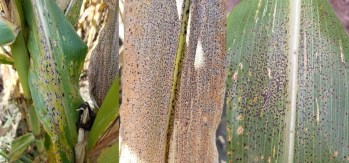 Figure 2. Corn leaves infected by tar spot. Infection can range from severe to mild on a leaf. The spots will be raised (bumpy to the touch) and will not rub off. In addition, they be surround by a tan or brown halo. (Photo Credit: Darcy Telenko)
