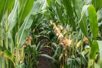 No western bean cutworm control in this traited corn