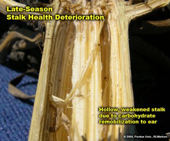 Hollow, weakened stalk due to carbonhydrate remobilization to ear.