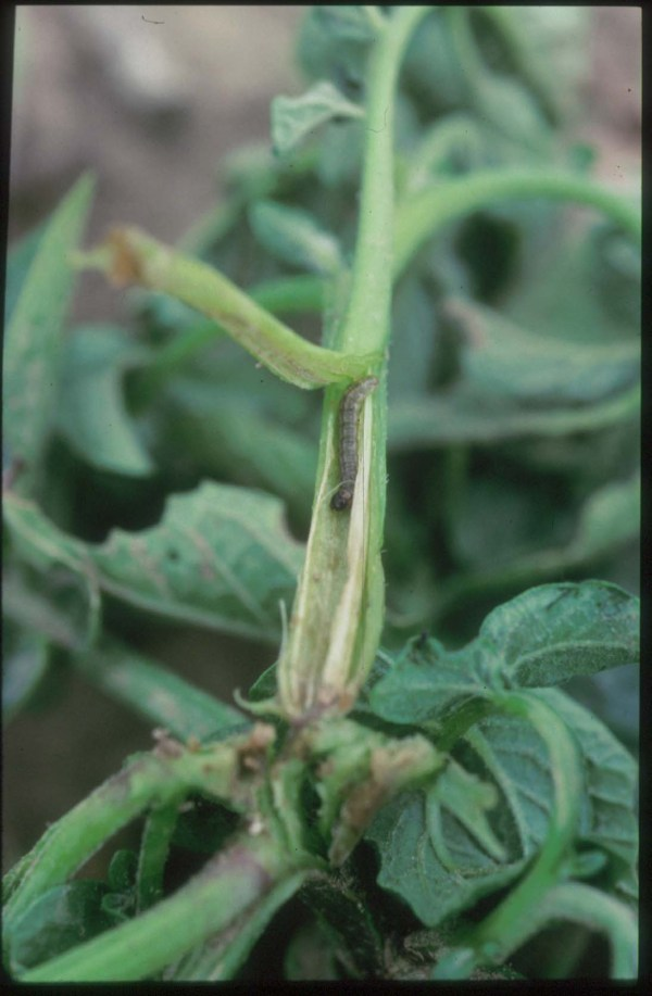Managing Insect Pests Of Potato