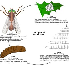 House Fly Anatomy Diagram Inside Computer Wiring Auto Diagrams Instructions Horse Electrical And Deer Flies Public Health Medical Entomology Purdue