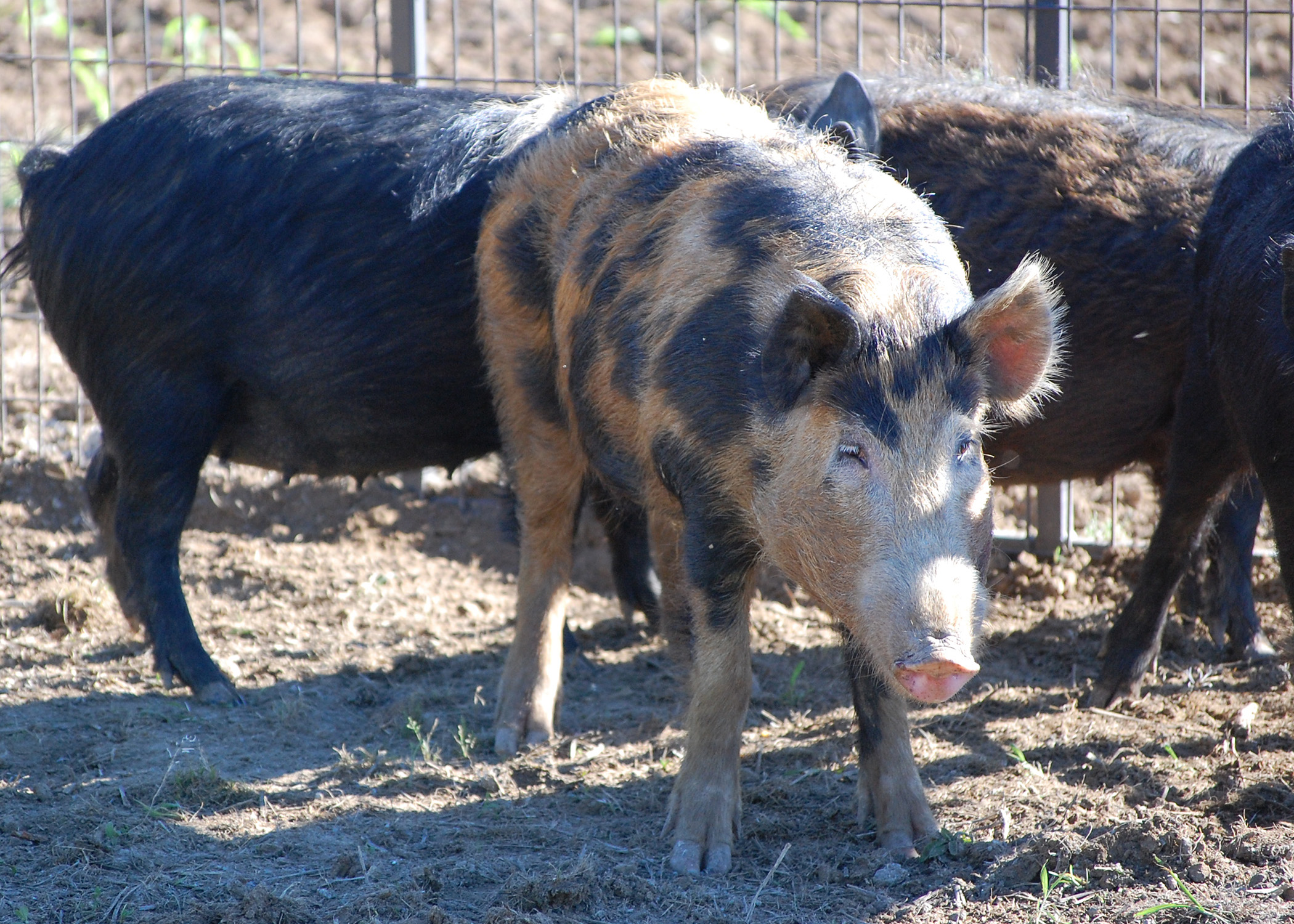 Transporting wild hogs threatens land crops  Mississippi State University Extension Service