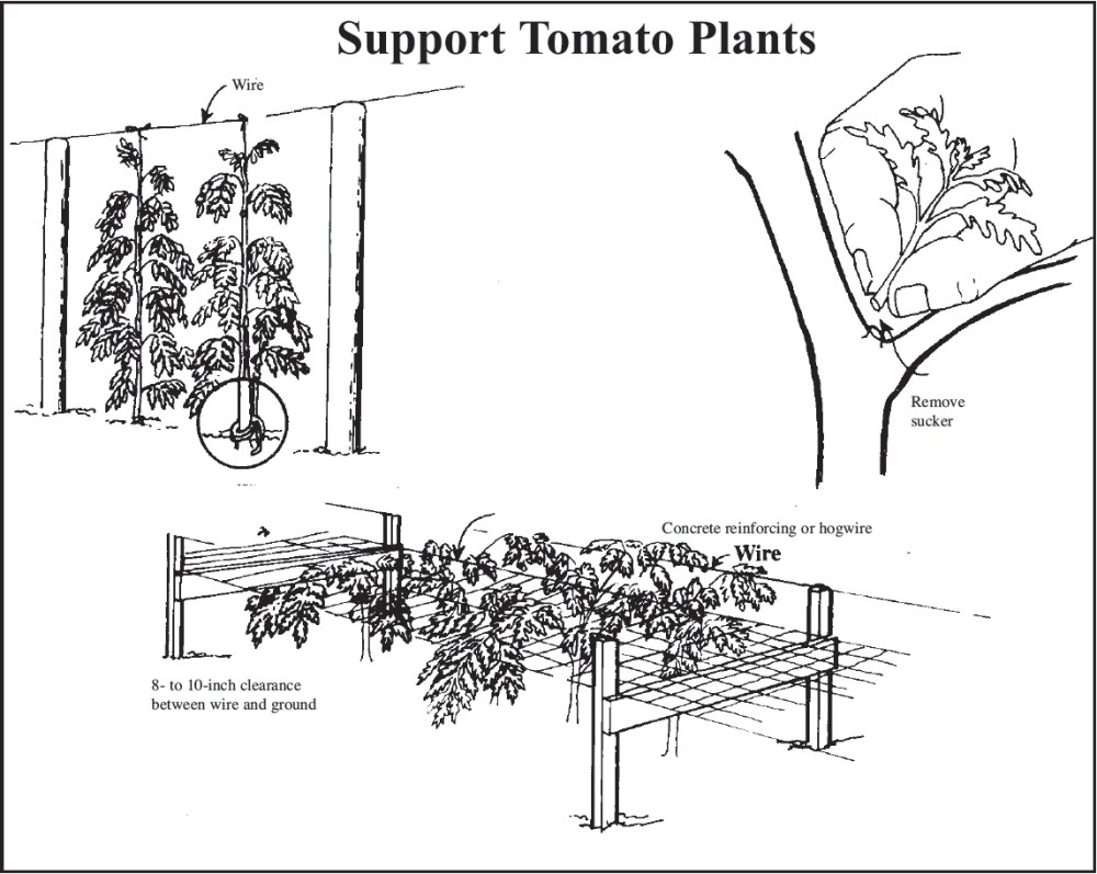 medium resolution of drawing showing three ways to stake and train tomatoes