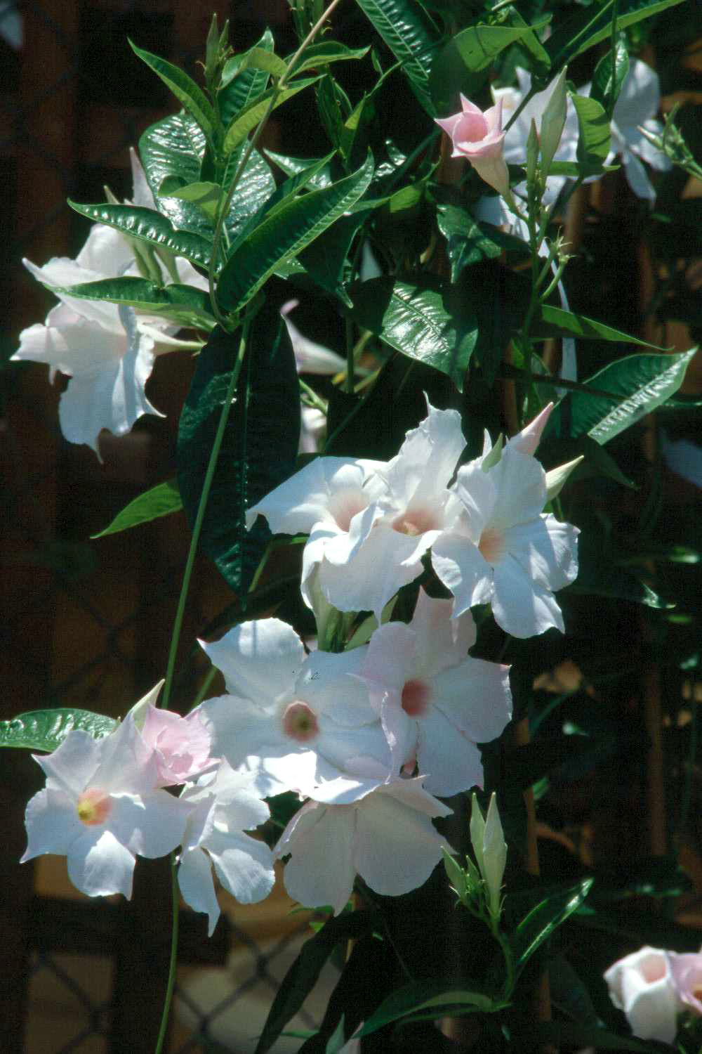 Tropical flowering vines provide color until frost  Mississippi State University Extension Service