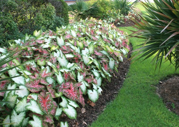 caladiums bring color shady