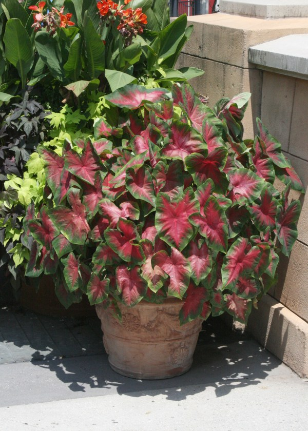 caladiums stand in landscapes