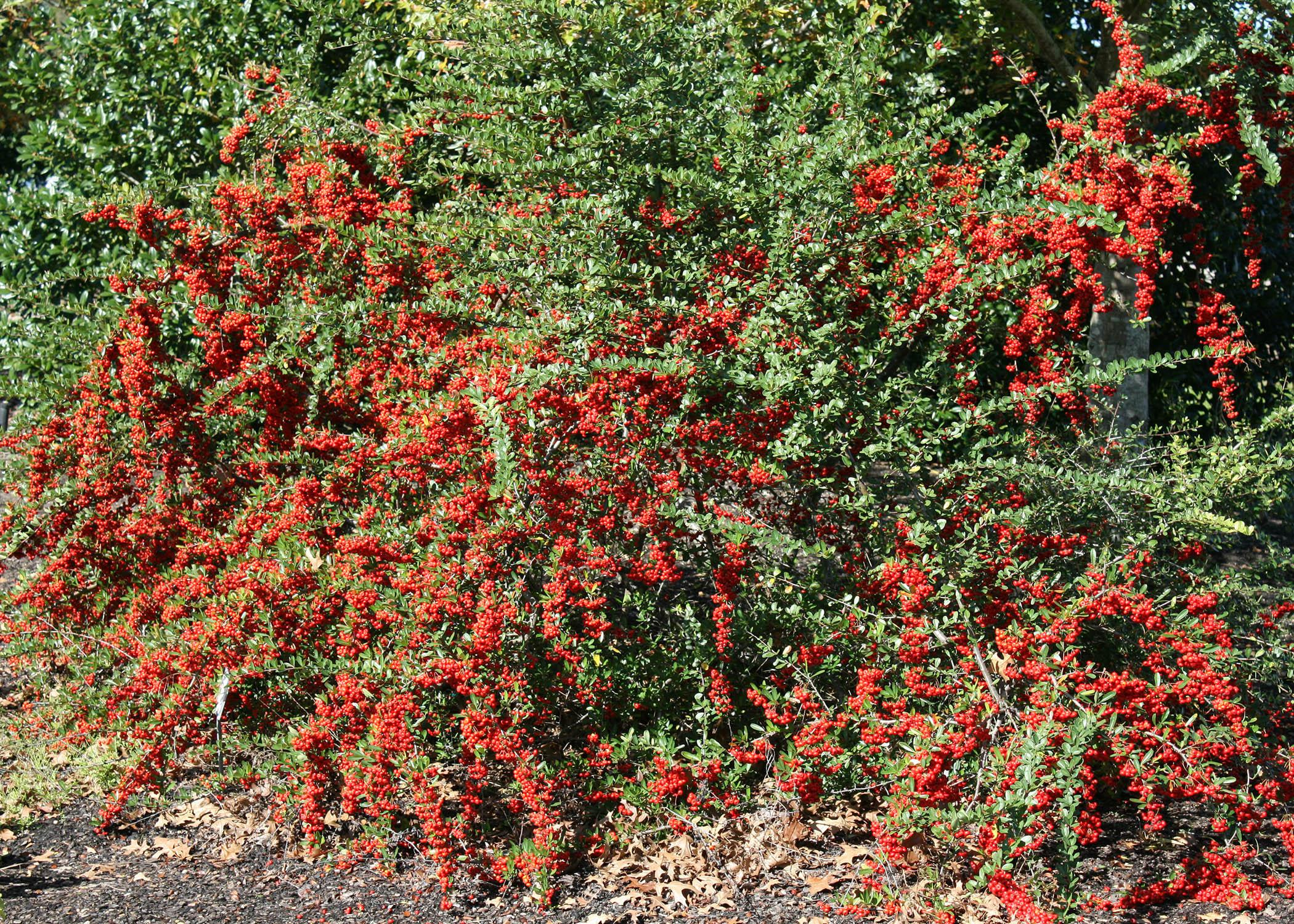 bushes with red berries offer winter