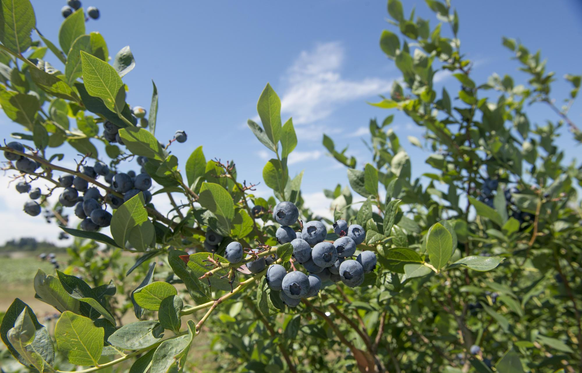 how blueberry plants develop