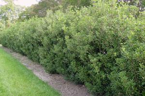 fragrant tea olive hedgerow