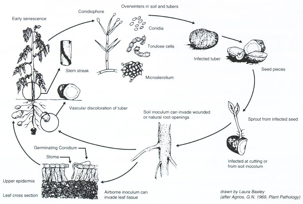 Bulletin #5041, Verticillium Wilt of Potatoes