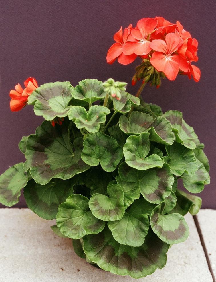 Zonal Geranium UMass Amherst Greenhouse Crops And Floriculture Program