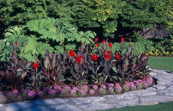 canna lily umass amherst greenhouse