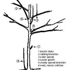 Diagram The Parts Of Cherry Blossom Tree Wiring Toyota 1jz Gte Pruning Trees And Shrubs Umn Extension Illustrating In Numbered Order On 1 Branch Stubs