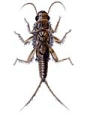 stonefly - Los Invertebrados Definición y carateristicas